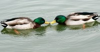 Gay Ducks?