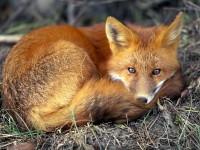 That fox!